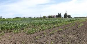 Corn-Delta-July-2014
