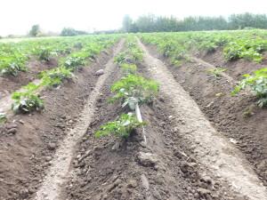 potatoes and drip line-Wilson-June 2015