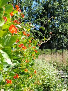 scarlet runner beans with buckwheat