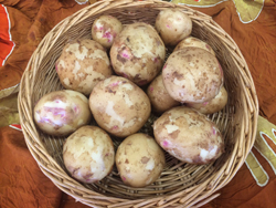 new-potatoes-Alaska-Bloom