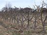 Pruning the apple orchard  in the Dungeness Field