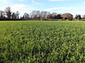 By February, the Dungeness field is getting a green cover crop.