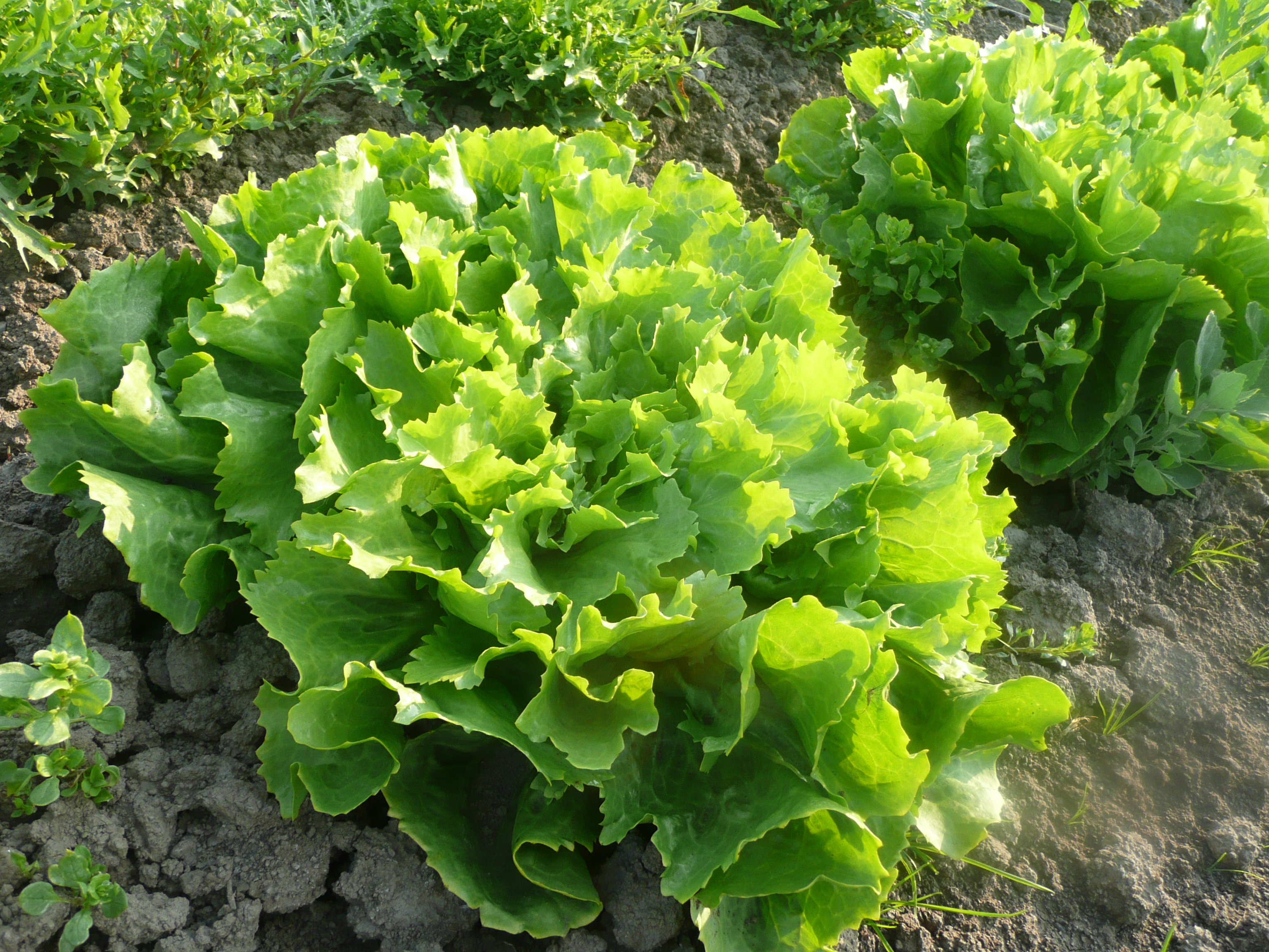 Lettuce in the field