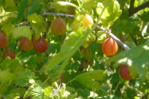gooseberries in the field
