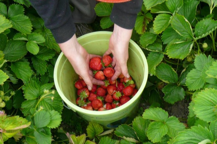 A bucket of strawberries in the field