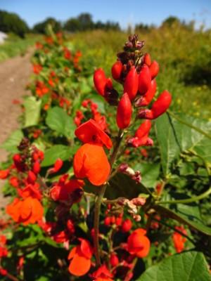 Scarlet runner beans flowers