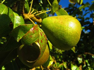 Pears in the orchard