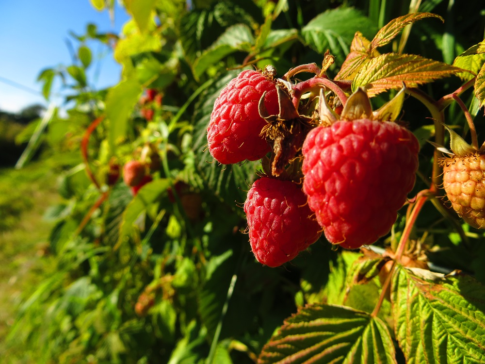 Raspberries in the orchard