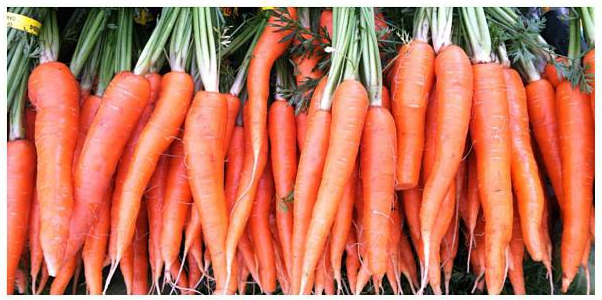 Carrots bunched