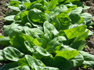 Spinach in the field