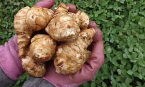sunchokes handful