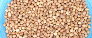 diana fava beans