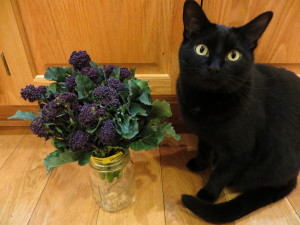 purple broccoli with cat