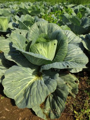 Green cabbage in the field