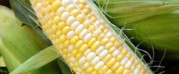 bicolor corn