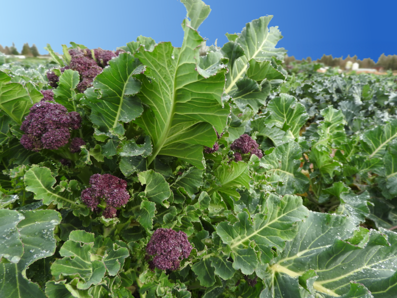 Purple Sprouting Broccoli in the field